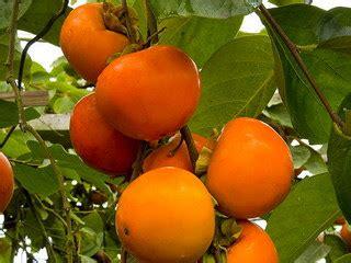 kesemek buah langka kaya  manfaat rumah tanaman