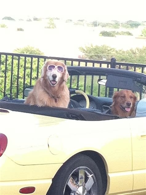 golden retriever with sunglasses you may be cool but you re not golden retriever wearing sunglasses cool just saw
