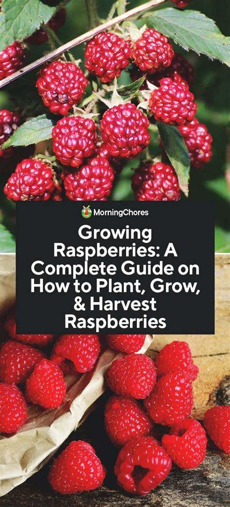 growing raspberries  complete guide    plant