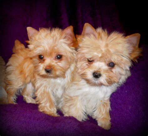 platinum blonde yorkie yorkie valley puppies