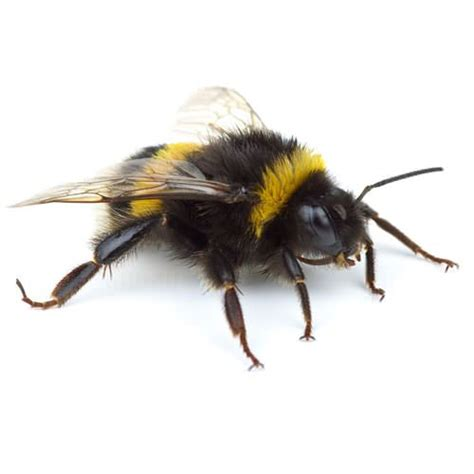 eliminating bumble bees infestations in marietta atlanta