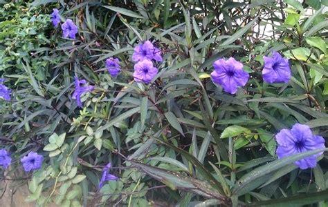 tanaman hias ruellia ungu