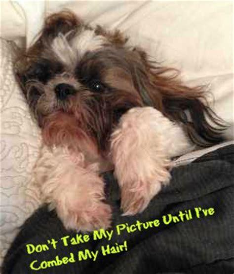 shih tzu barks much the shih tzu breed with a time shih tzu owner
