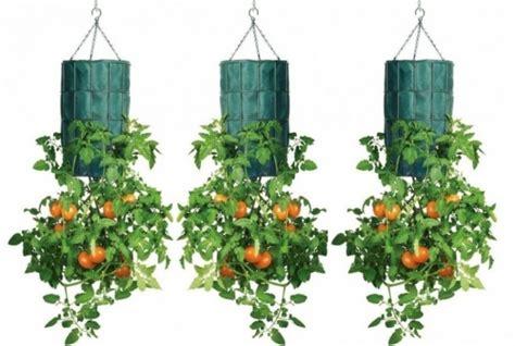 come piantare i pomodori in vaso come coltivare pomodori in bottiglie di plastica a testa