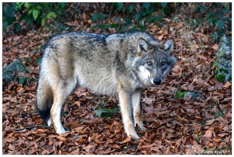 le wald le loup du nationalpark bayerisher wald picture of tier