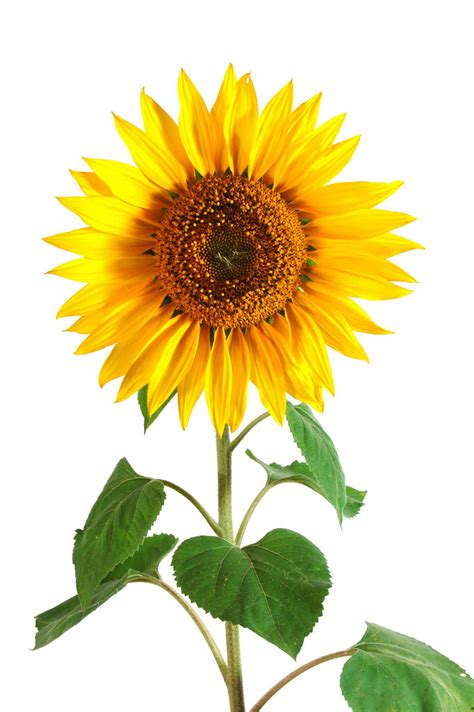 Facts About Daisy Flowers sunflower helianthus annuus history benefits side