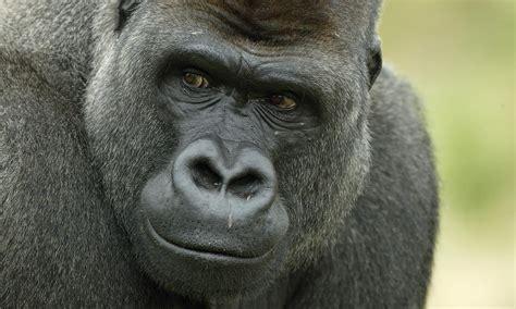 Western Lowland Gorilla   Photos   WWF