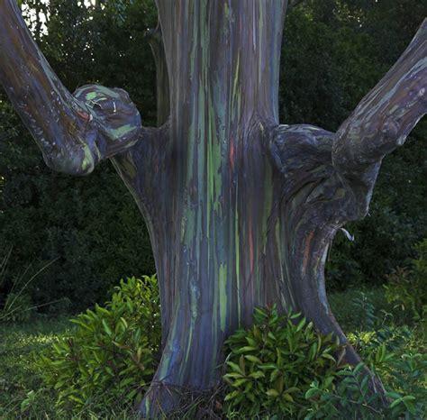 rainbow trees rainbow eucalyptus trees maui hawaii world for travel