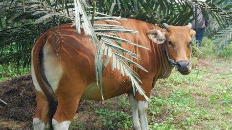 Bibit Sapi Betina dari 105 ekor sapi betina ikuti program ib kota pekanbaru