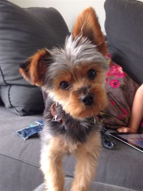 extra short haircut for yorkies cute short yorkie haircuts www imgkid com the image