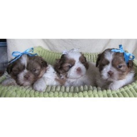 imperial shih tzu puppies for sale in iowa imperial shih tzu puppies for sale in iowa