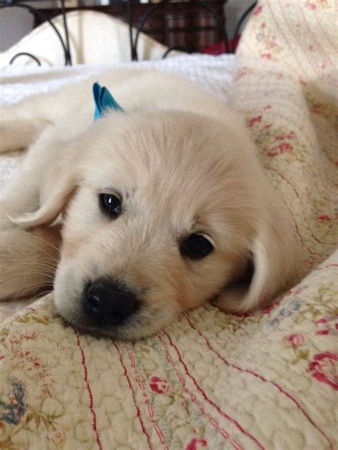 creme golden retriever names 1000 images about golden retriever on
