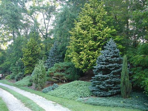 St Garden Vs mixed evergreen tree screen conifers trees evergreen trees evergreen