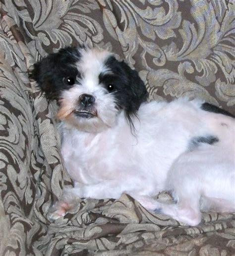 small breed rescue safehaven small breed rescue petfinder foundation