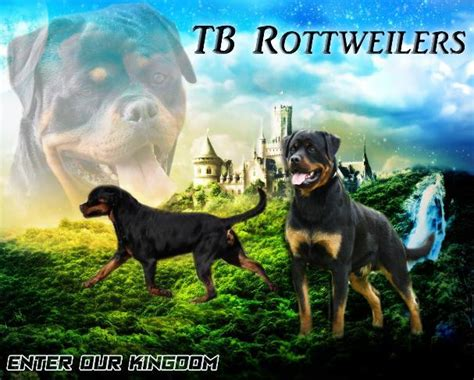 rottweiler rescue ga rottweiler puppies rescue dogs in our photo