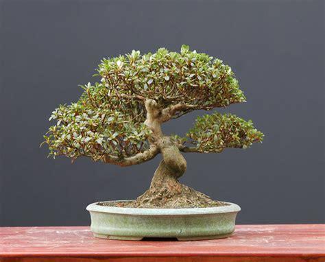 Bonsai Boom Onderhouden bonsai boom onderhoud halve parasol
