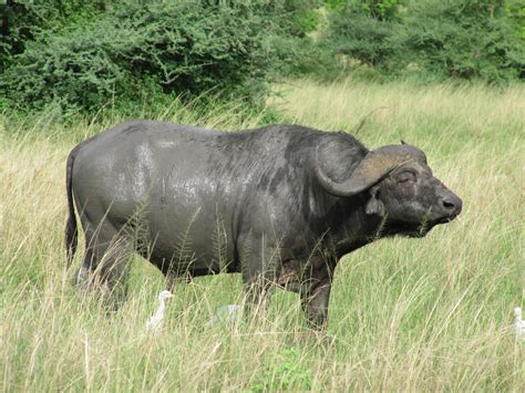 file african buffalo in murchison falls national park jpg