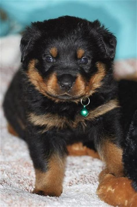 average price for rottweiler puppy 301 moved permanently