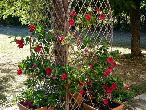 sundaville fiore dipladenia mandevilla splendens mandevilla splendens
