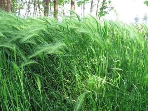 oat fiori di bach oat tutto sul fiore di bach cure naturali it