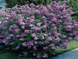 dwarf evergreen shrubs for full sun full sun flowering