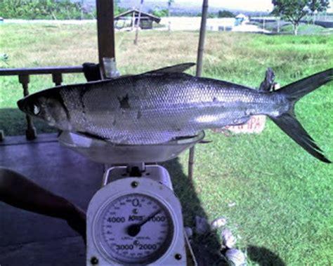 Bibit Ikan Bandeng dunia mancing tips memancing ikan bandeng