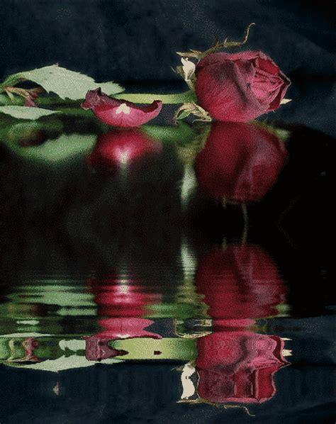 imagenes rosas san valentin 10 im 225 genes de rosas en movimiento para san valentin