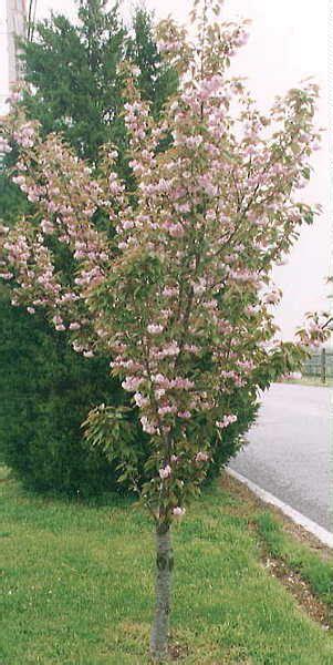 cherry tree auctions cherry