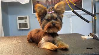 miles redd yorkie dog grooming styles dog wallpaper best in show