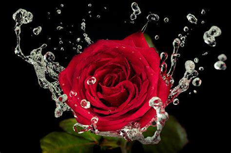 imagenes de flores sobre el agua papeis de parede 193 gua rosas gota vermelho flores baixar