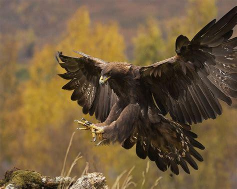 golden eagle landing spread wings wallpaperscom