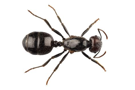 black ants ant youngs pest