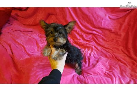 brown teacup yorkie teacup yorkies black brown terrier for sale in new york ny