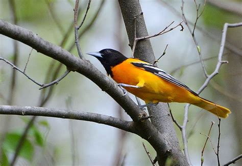 attracting orioles to your back yard the gilligallou