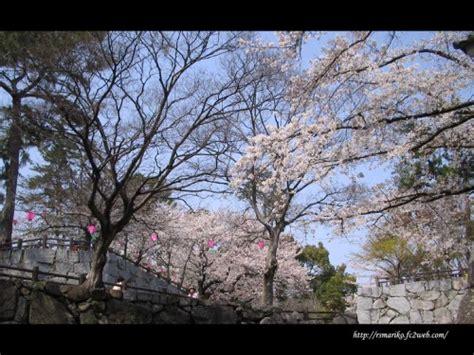 2 cherry tree groveland ma roadside cherry trees in japan the cherry blossom season 満開桜 お買い物 満々美人 楽天ブログ