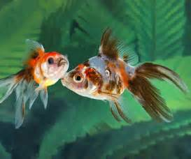 Pond Fish > Pond Plants & Pond Fish for Sale > Pond Fish > Goldfish