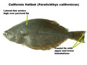 odfw sport pacific halibut faq