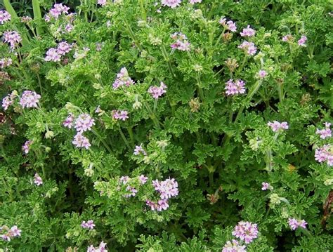 best scented geranium indoors 72 best images about scented geraniums are the best on greenhouses pots and