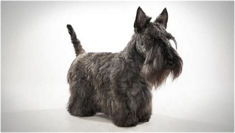 how to give a scottish terrier a hair cut scottish terrier puppies breeders facts pictures