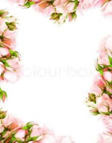 frische rosa rosen umrandung auf wei 223 em hintergrund