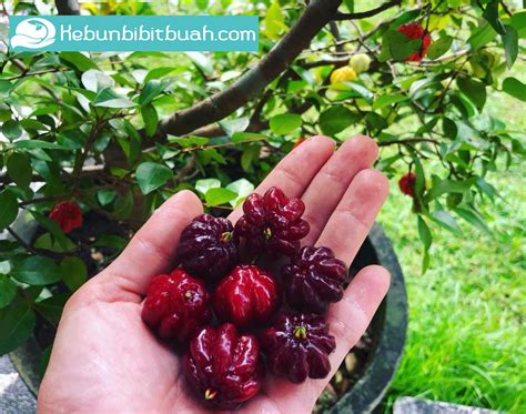 Bibit Dewandaru bibit buah dewandaru kebun bibit buah