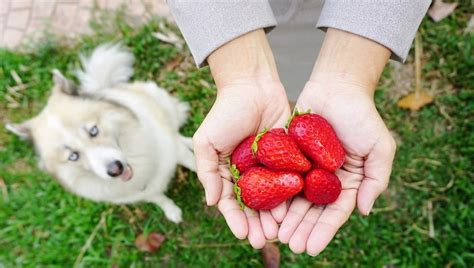 are strawberries bad for dogs can dogs eat strawberries dogtime