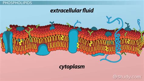 major structural components   cell membrane video
