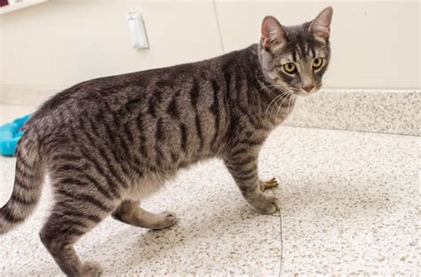 Adoptable Kitten Chaz Flickr by Chaz Aspca