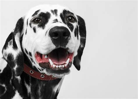 puppy teeth bleeding ways to improve your s teeth petmd
