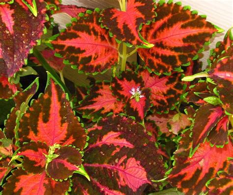 coleus plant care and collection of varieties garden org
