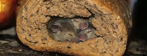 how to get rid of mice in your backyard one of top pest kill informational resource