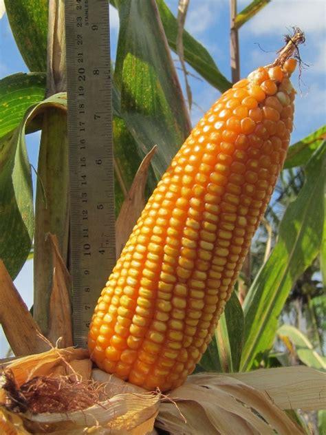 Benih Kacang Panjang Berkualitas budidaya jagung benih pertiwi