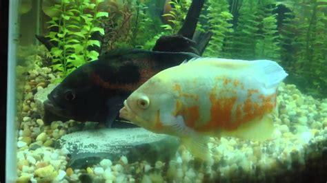 oscar fish breeding egg laying amp fertilizing youtube