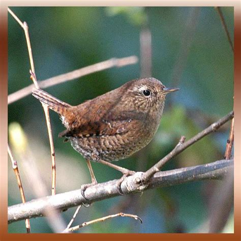 types of wrens